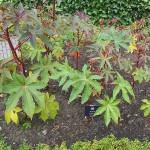plant in Poison Garden