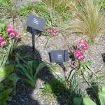 Tulipa Biflora plants