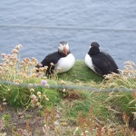 Puffins by sea