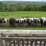 Cows in front of Hall